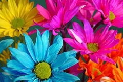 Flowers-1-3-Daisies-Multi3-AT